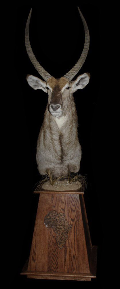 African/Exotic lifesize taxidermy mounts | Mogollon Taxidermy